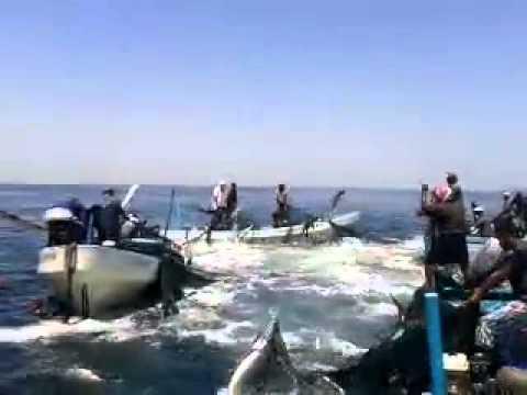 صيد سمك التونة 1000 سمكة