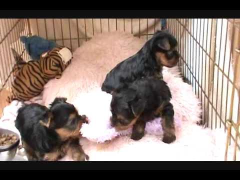 Tiny Yorkie Puppies......