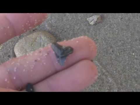 Fossil Shark Tooth Hunting Calvert Cliffs Maryland