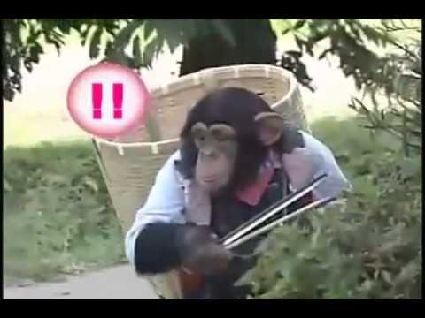 Đười ươi dắt chó đi hái quả Coi và cười té ghế :[Tại nhật bản]