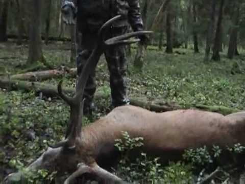 Охота оленя реву