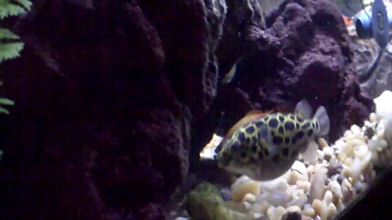 giant puffer fish puffed up - photo #22