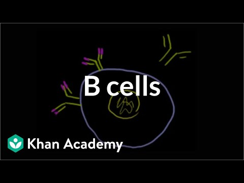 B Lymphocytes (B Cells)