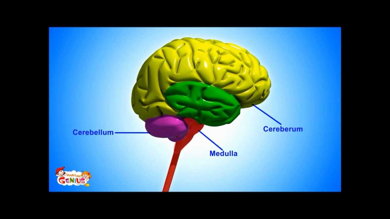 Brain Parts & Functions video for Kids from www ...
