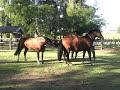 Reprodução Controlada Cavalos Crioulos
