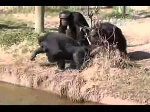 Gorila graciosos - videos chistosos 2013 y Graciosos 2013 - Caidas Graciosas de Risa 2013