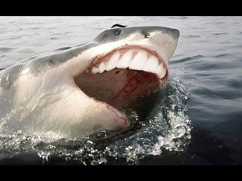 Funny Great White Shark Attack & Shark Fishing - Jaws Sharks Compilation of the Funniest Animals