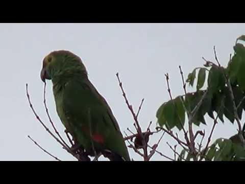 Papagaio verdadeiro, Amazona aestiva, Blue-fronted Parrot,