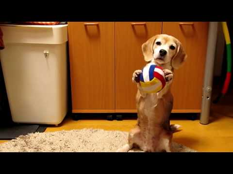Purin the Super Beagle Catches Ball