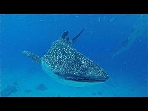 Cebu Whale Sharks