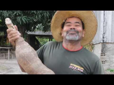 Santa Luzia: Produtor colhe mandioca de 1 metro e 33 cent�metros em sua propriedade