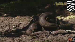 Anaconda Eats Man: Eaten Alive Star Wimps Out On Getting