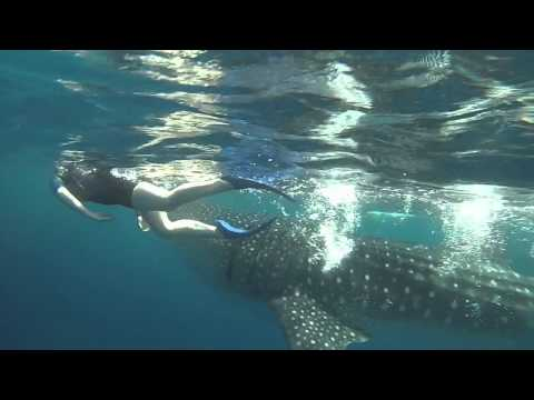 Whale Sharks   - Off the coast of Cancun -  July, 2015