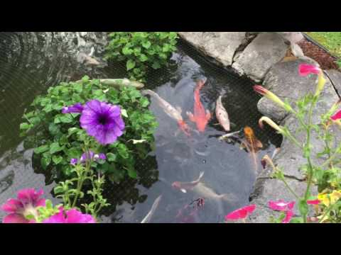 Koi pond in my backyard