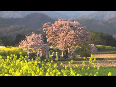 Hoa anh đào Nhật Bản P1