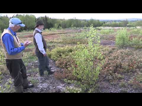 Lowbush Blueberry in Maine, Native Plants and Native Bees in a Modern System