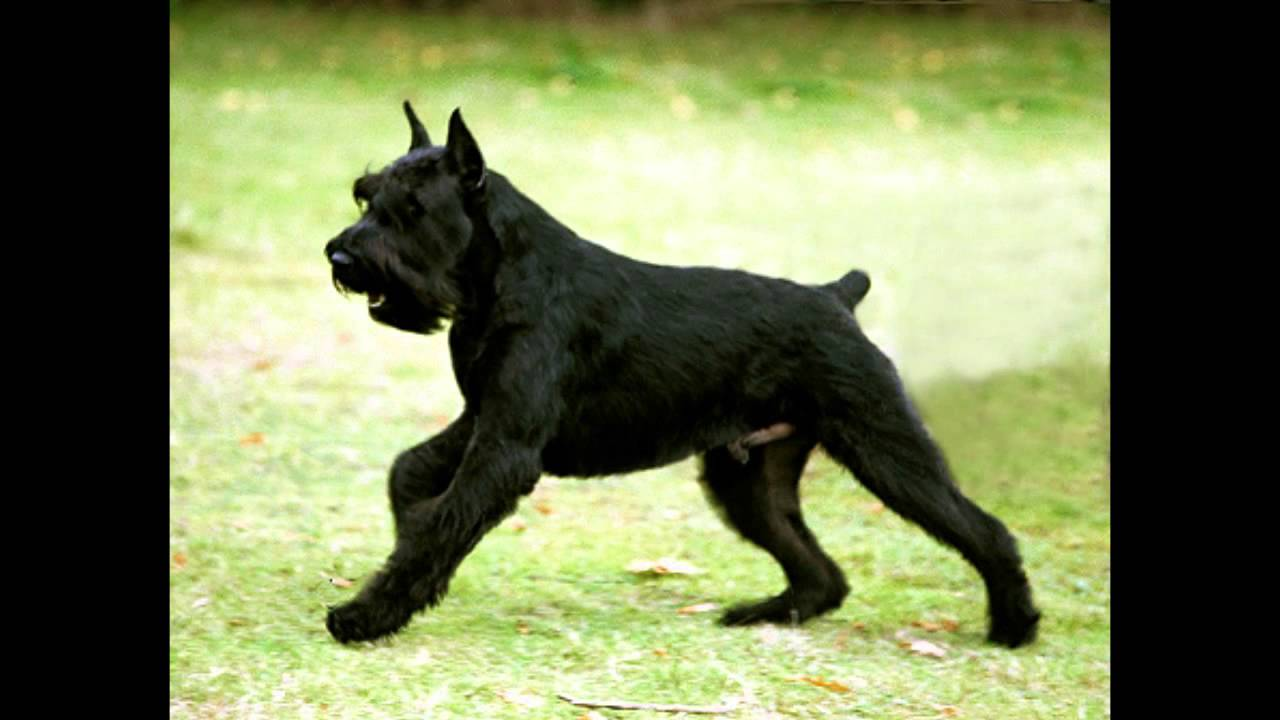 Top Ten Best Guard Dogs Youtube