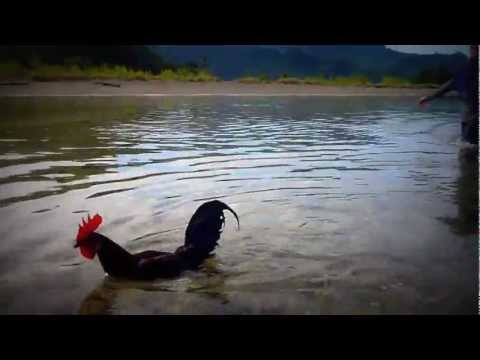 Jungle fowl Swimming in The Sea (Ares Tong Tong)