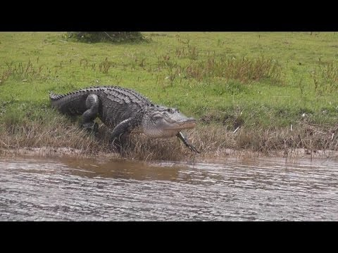 Florida - some Alligators in the water - Airboat trip