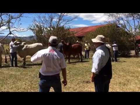 Curso de Selección y Juzgamiento de Ganado Cebu. Hacienda Siquiares, Alajuela, Costa Rica