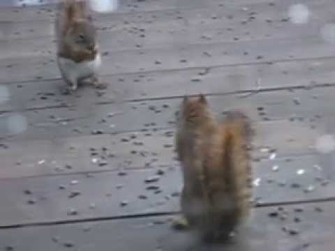 Squirrel Fight, Two squirrels have a go over... seeds! what else?