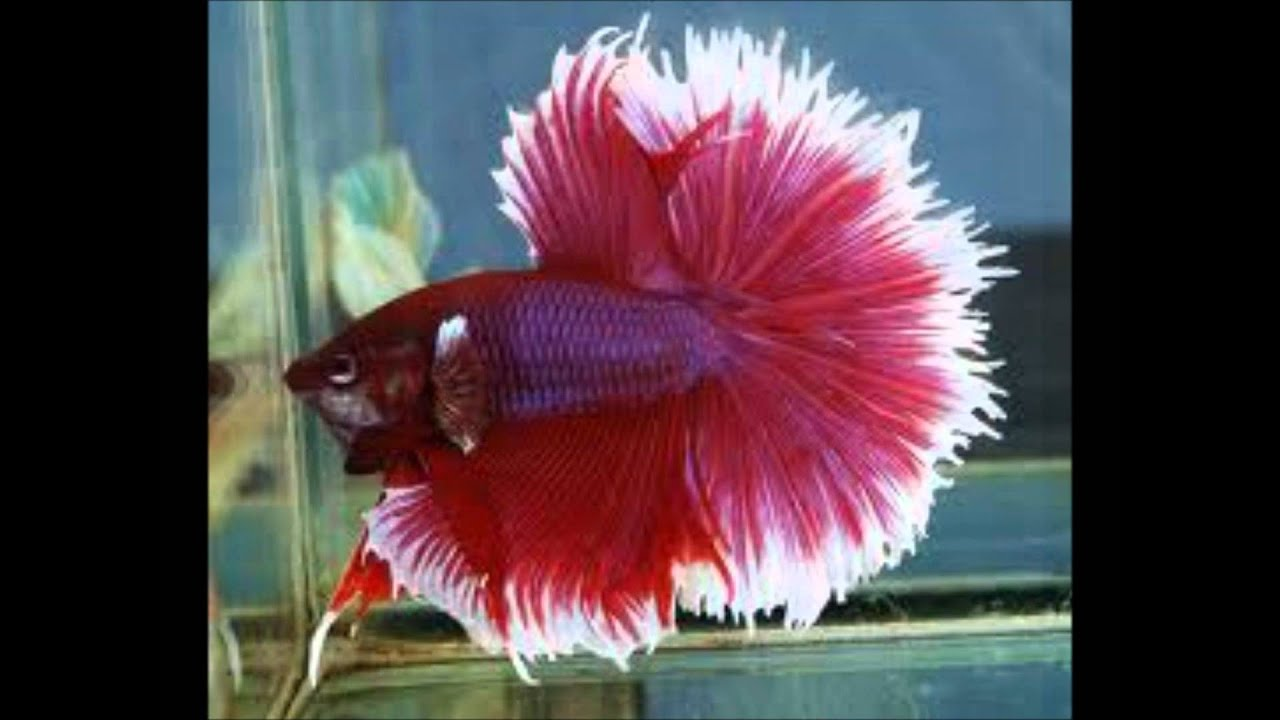 biggest betta fish in the world
