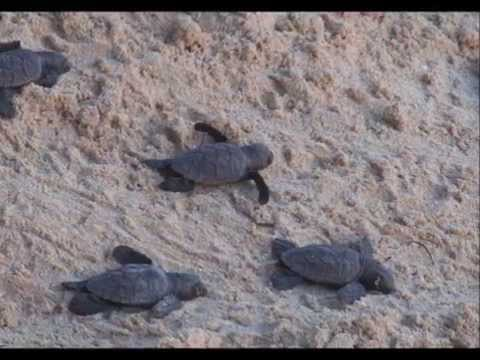 Turtling hatchling release in Barbados