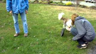 Roosevelt, Two-Legged Dog Border Collie Races around in His Front Wheel Cart