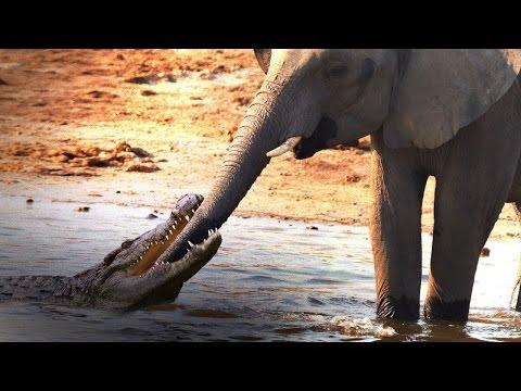 Vídeo mostra elefante lutando contra crocodilo após réptil morder tromba
