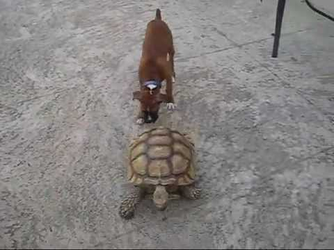 Tortoise chases dog FUNNY, African spur chases a boxer puppy.