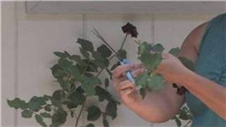 Rose Gardening : How To Take Care Of Rose Plants