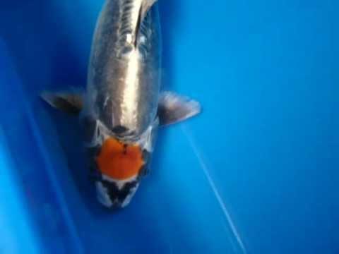 16 very unique ikarashi tancho kikokuryu rare koi fish for Where can i buy koi fish