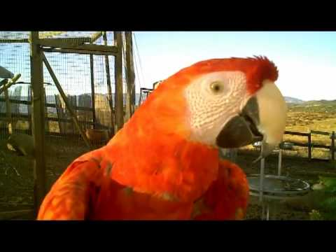 Big Beautiful Red Parrots