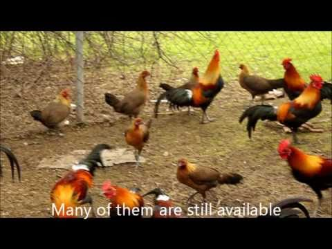 Young Jungle Fowls 2011.wmv
