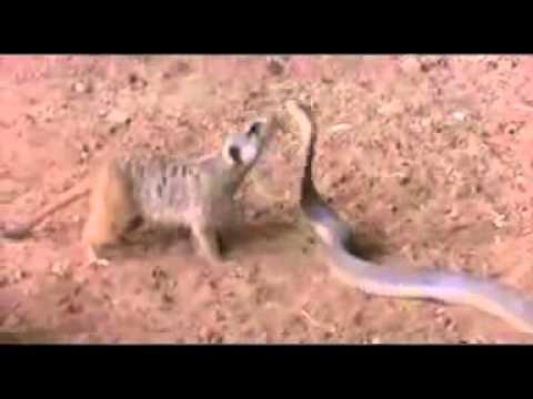 Kẻ thù của loài rắn là ai