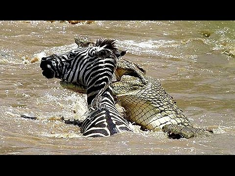 Cocodrilo Ahoga y Mata a Cebra