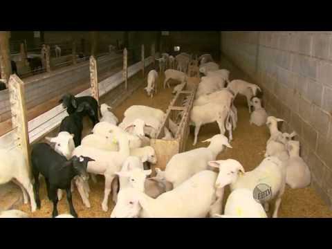 Jornal EPTV - produção de leite de ovelhas e derivados em MG