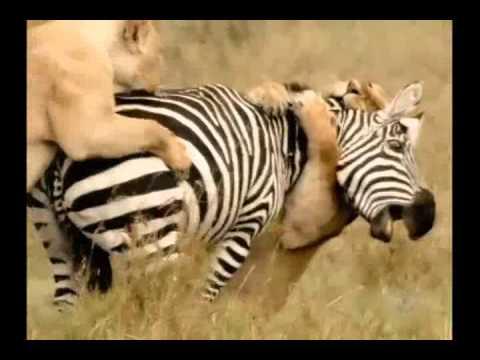 Leões caçando na savana africana