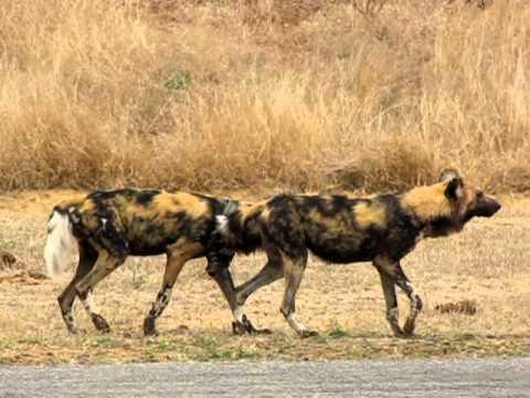 MalaMala - Wild Dogs mating