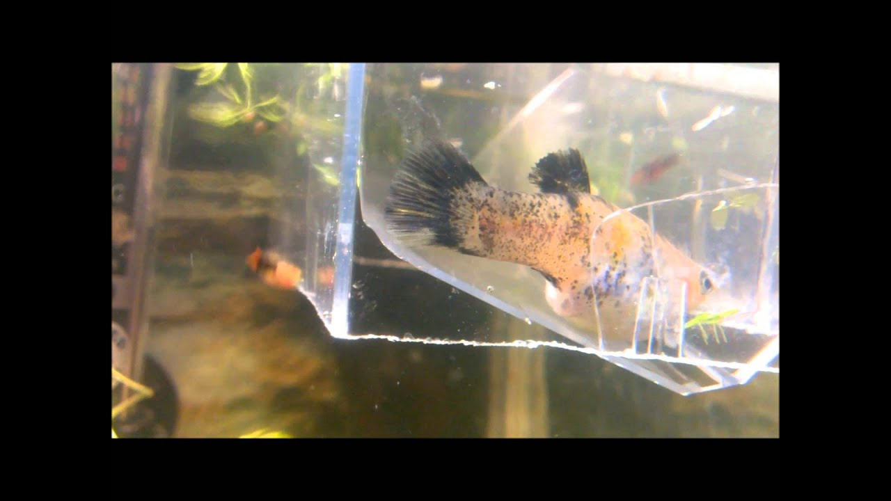 molly fish giving birth :) - YouTube Black Molly Fish Babies