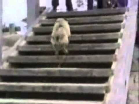 Try not to laugh. Best Animals Fail & Wins Compilation Ever !! Funny Hahahah !!