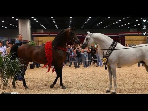 Arabian Horse Celebration