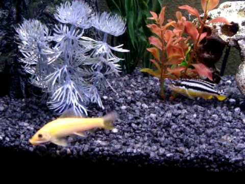 African cichlid and golden chinese algae eater youtube