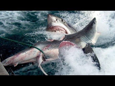 GREAT WHITE SHARK BITES SHARK IN HALF