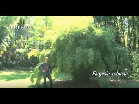 Bambou nigra non traçant