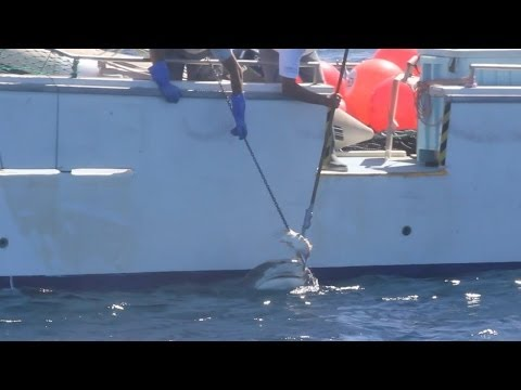 Feb 22, 2014 - Tiger Shark caught on Drum line, Gracetown WA
