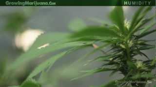 Humidity Marijuana Growing Humidity Moisture Growing