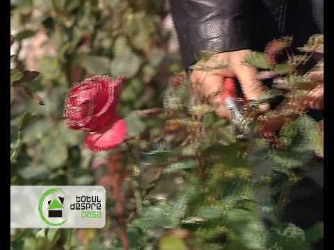 Ingrijirea trandafirilor la Totul despre casa