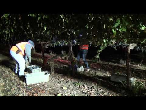 9-29-13 - night harvesting estate Cabernet Sauvignon in Napa Valley
