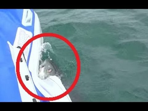 Great white shark attacks boat of film crew: Scary footage shows all